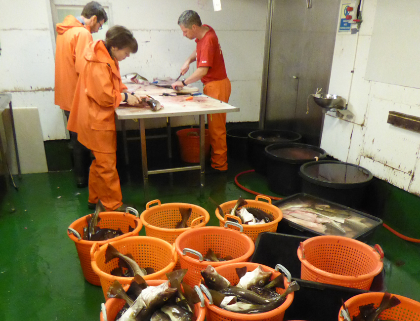 Gutting fish aboard ship