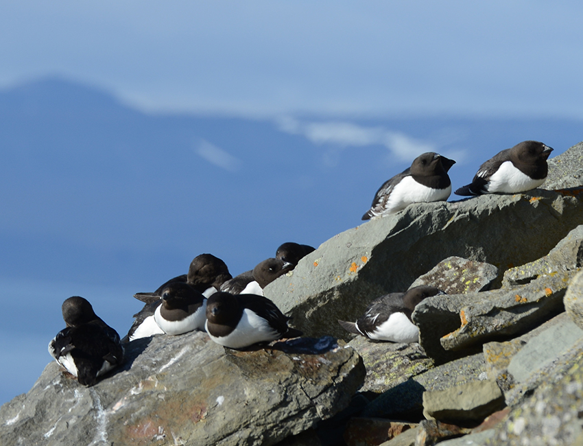 Little auks (Alle alle) photographed during AB-322 fieldwork. Photo: Geir Wing Gabrielsen/UNIS