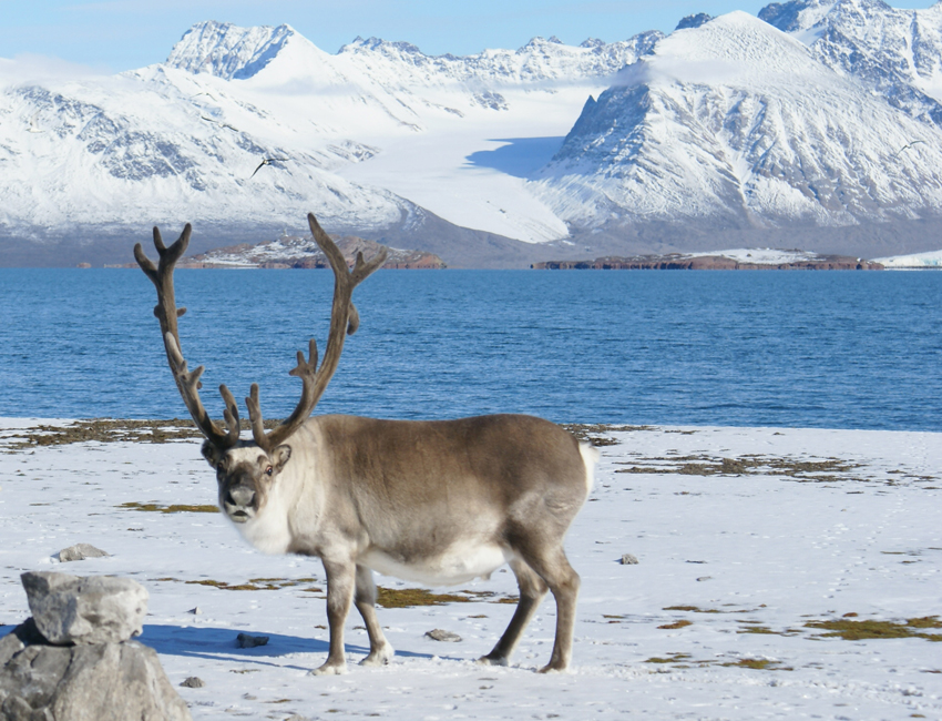 Consequences of tooth wear in reindeer