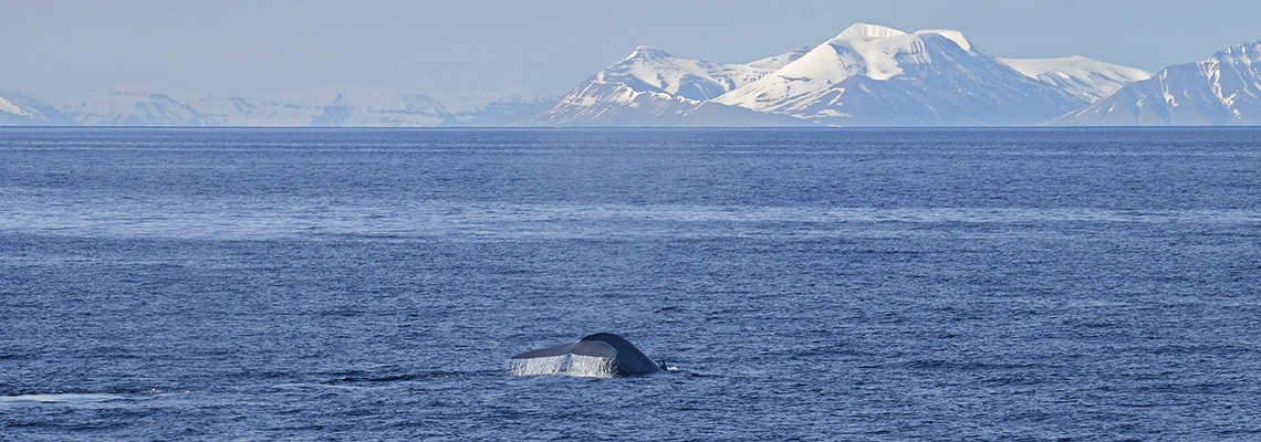 Blue whale (Balaenoptera musculus) in Isfjorden, June 2016. Photo: Inger Lise Næss/UNIS