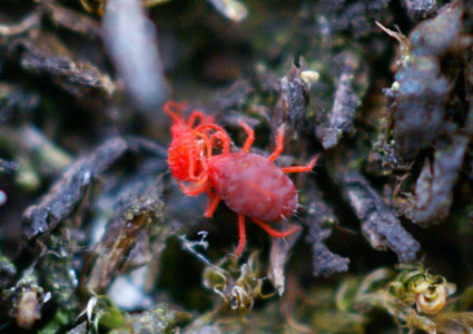 Mite eating mite in Svalbard. Photo: Steve Coulson/UNIS
