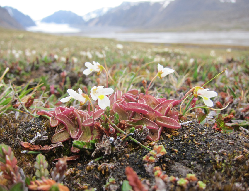 New, carnivorous plant species found in Svalbard