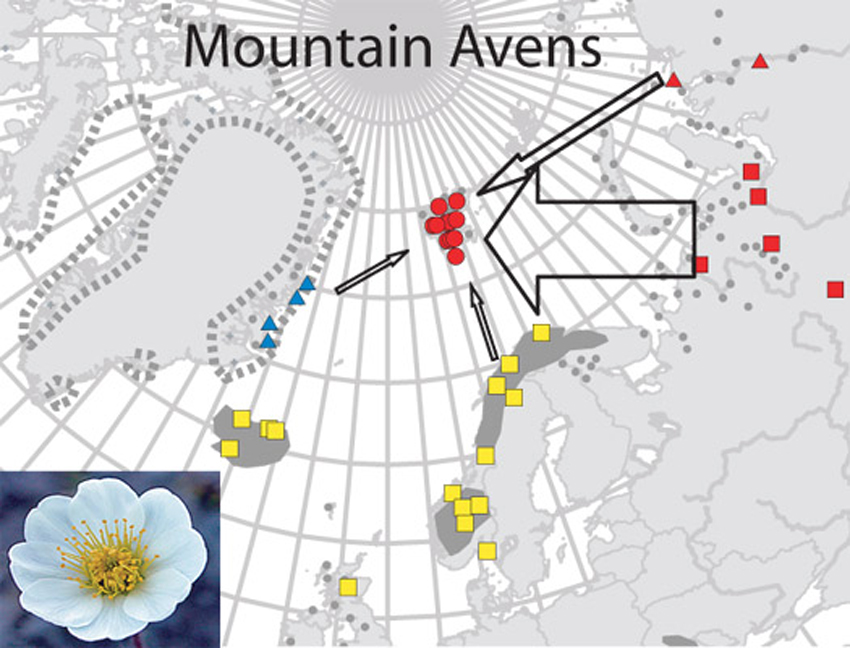 Mountain Avens colonization of Svalbard