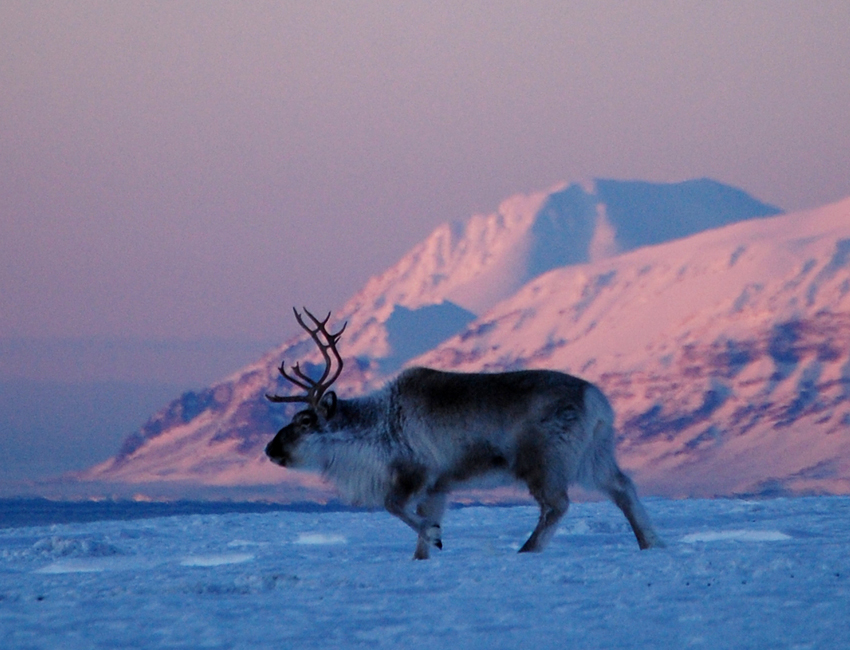 Svalbard reindeer in good physical condition