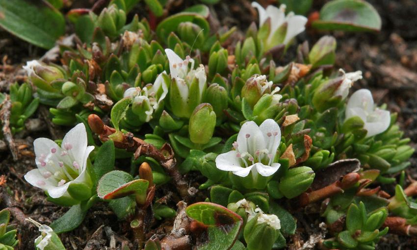Low sandworts (Arenaria humifusa)