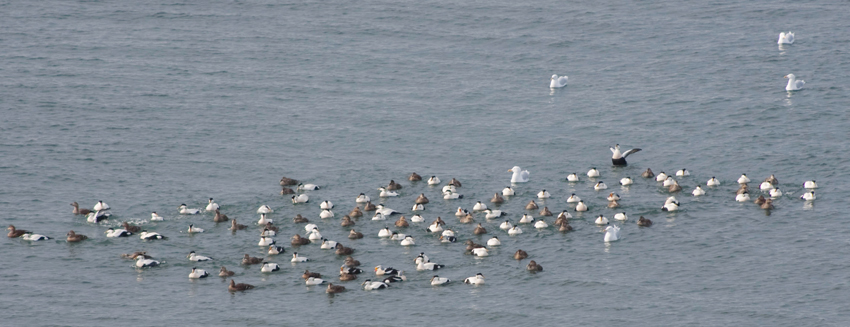 Common eider and Glaucous gulls