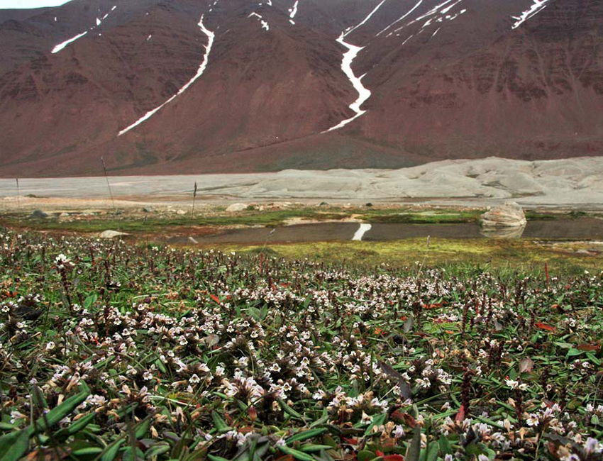 New red list for Svalbard vascular plants