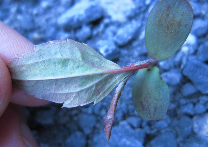 Plum tree, Svea, Svalbard