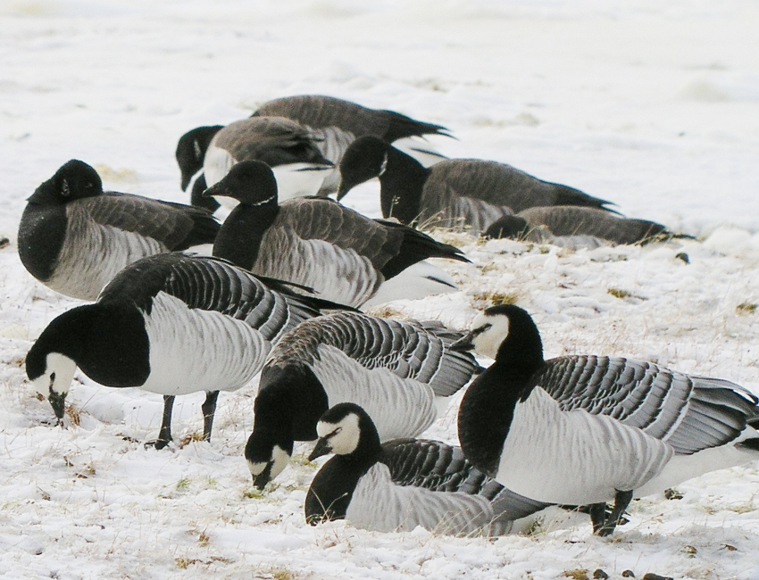 Migrating geese and their food plants