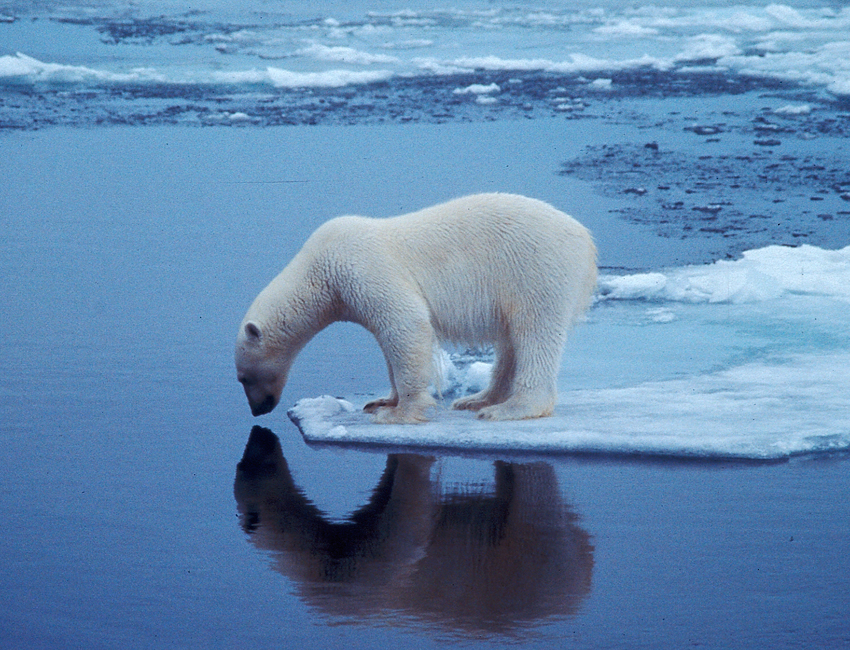 Spectacular find could rewrite polar bear history