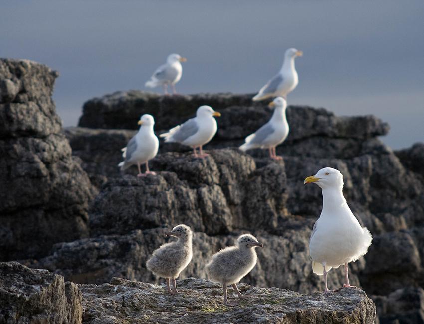 Glaucous gull (Larus hyperboreus). Photo: Øystein Varpe/UNIS