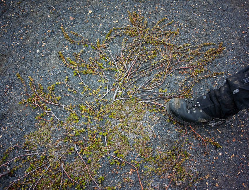 Dwarf birch in Svalbard