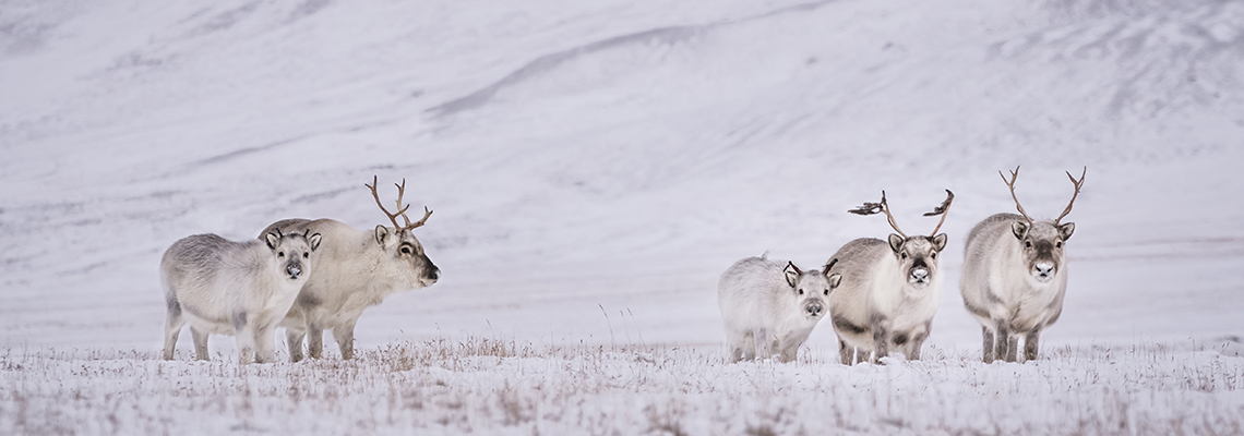 Svalbard reindeer, October 2015. Photo: Espen Solvik (Solvik Photography)/UNIS