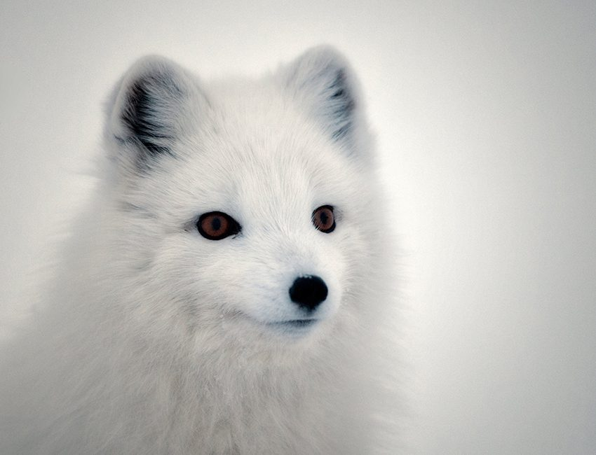 Arctic fox in Semmeldalen. Climate effects on the arctic fox in Svalbard goes through its forage resources. Photo: Mads Forchhammer/UNIS