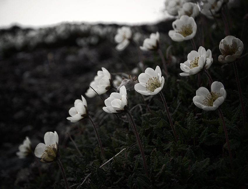 Mountain avens (Dryas octopetala) flowering in north Svalbard. Timing of flowering is influenced by climate warming in the Arctic. Photo: Mads Forchhammer/UNIS