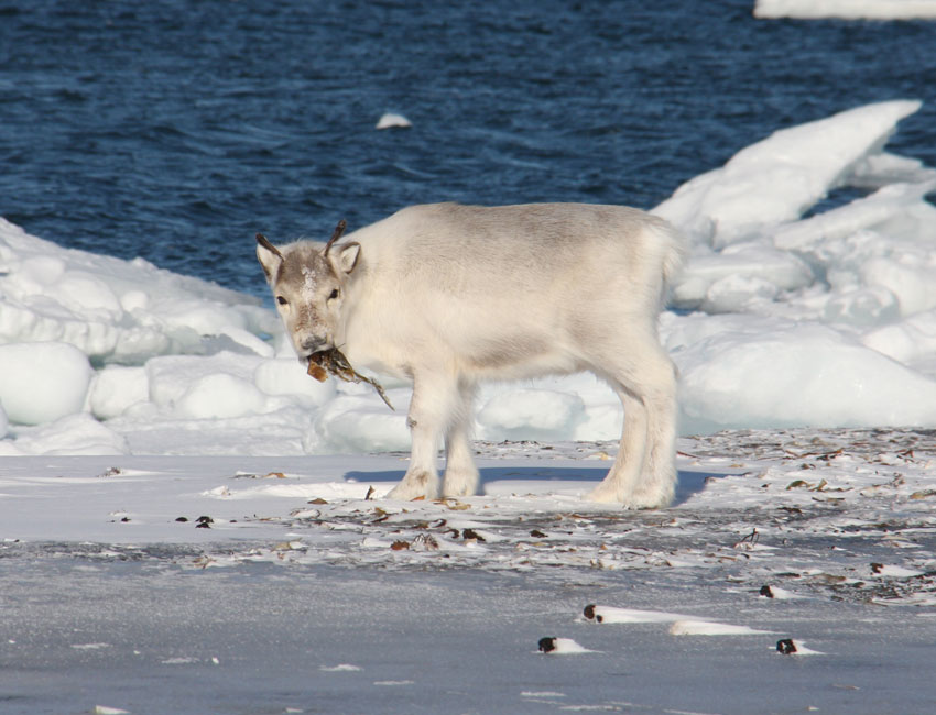 Svalbard reindeer graze on seaweed in tough winters
