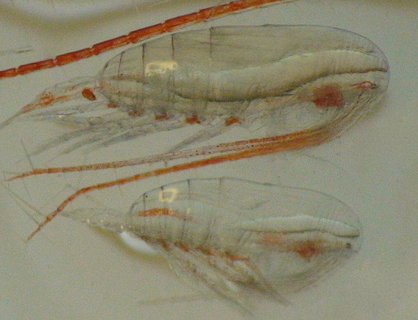 Fate of copepods in a warming Arctic dependent on the algae season