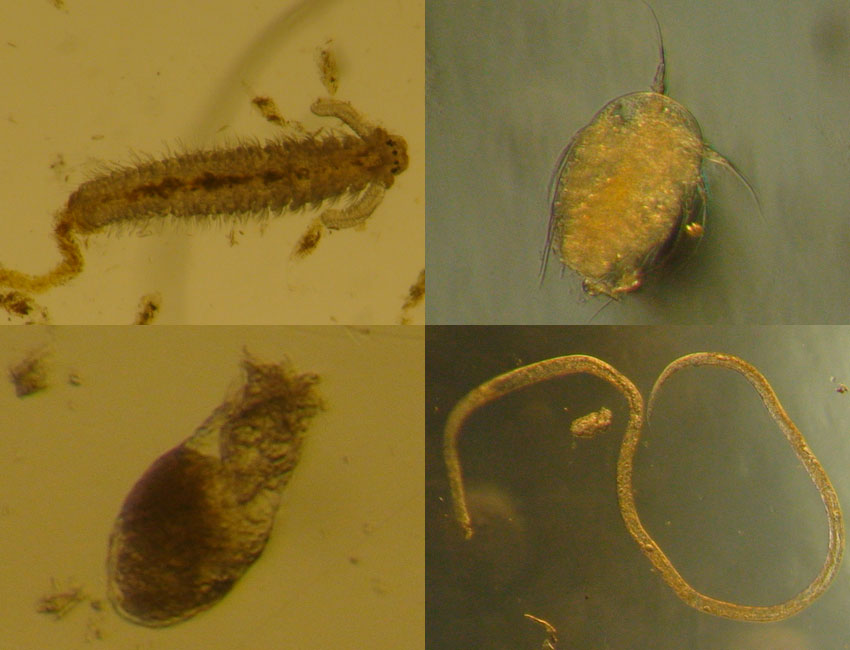 Examples of the tiny animals found within sea ice – bristle worm larvae (top left), wheel animals (bottom left), copepod nauplii (top right), and a roundworm (bottom right). Photos: © Vanessa Pitusi.