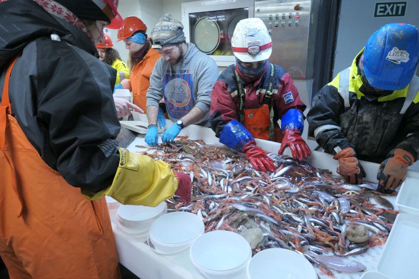 Processing a benthic trawl catch onboard RV Kronprins Haakon