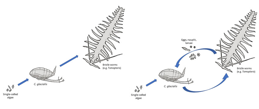 From studies such as those on C. finmarchicus and C. glacialis, we now see that research no longer supports a simple model (on the left). Instead of a linear migration from small to large, nutrition and energy also move from large to small (on the right). For example, in that the early life stages of larger animals (here represented by the bristle worm Tomopteris) are eaten by C. glacialis. Figure: Snorre Flo/UNIS.
