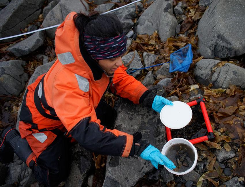 PhD student Cheshtaa Chitkara collecting macroalgae from a rocky shoreline. Photo: Daniela Walch/UNIS.