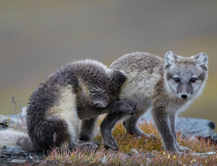 Two playful Arctic foxes in Svalbard. Photo: Børge Damsgård/UNIS.
