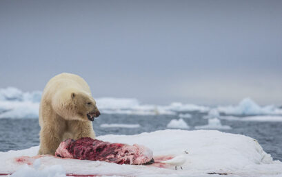 Featured image for 'Polar bear conflicts in Svalbard – how dangerous are our Arctic icons?   '