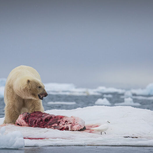 Featured image for: Polar bear conflicts in Svalbard – how dangerous are our Arctic icons?