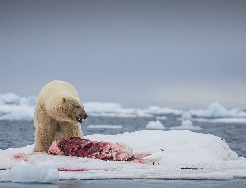 Polar bear conflicts in Svalbard – how dangerous are our Arctic icons?
