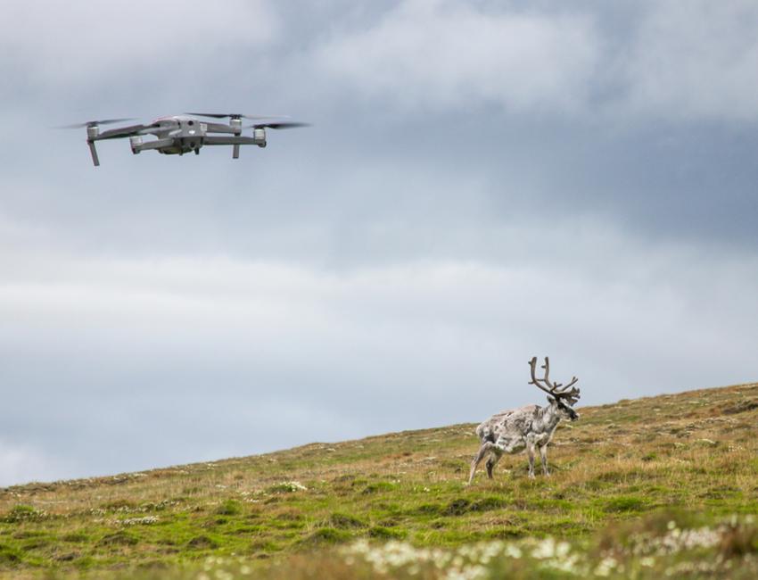 Drone-based reindeer counting in Svalbard