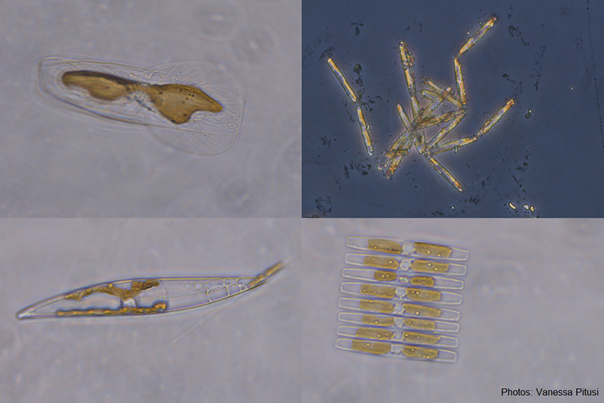 Examples of diatoms - the most important algae found in sea ice.