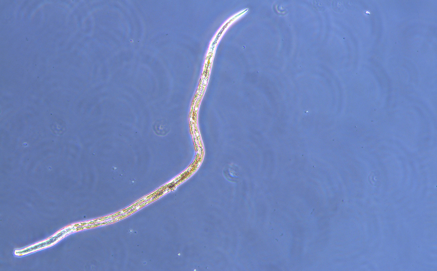 A roundworm found in sea ice