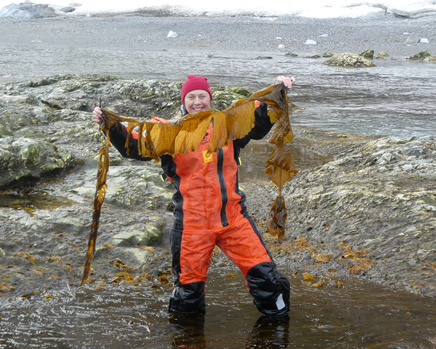 Person with kelp on a shore in western Svalbard.