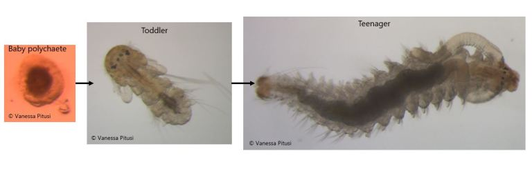 Stages of polychaete development within sea ice; species unknown.