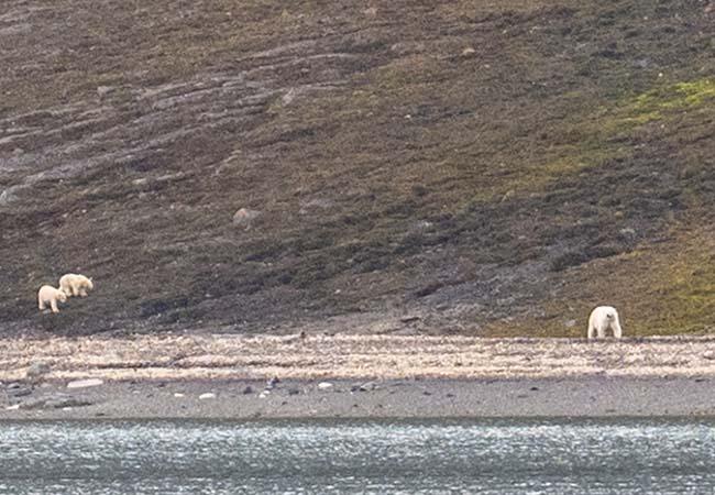 Polar bears in Petuniabukta